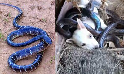King-Cobra-dog